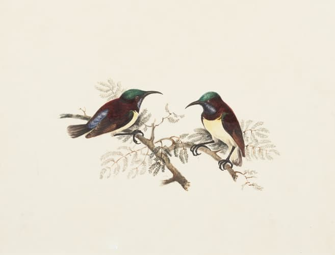 Ilustración de dos aves pequeñas similares a la alondra como las de la canción infantil francesa